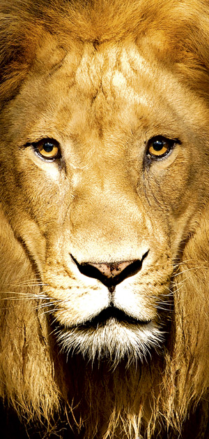 Lion_OK